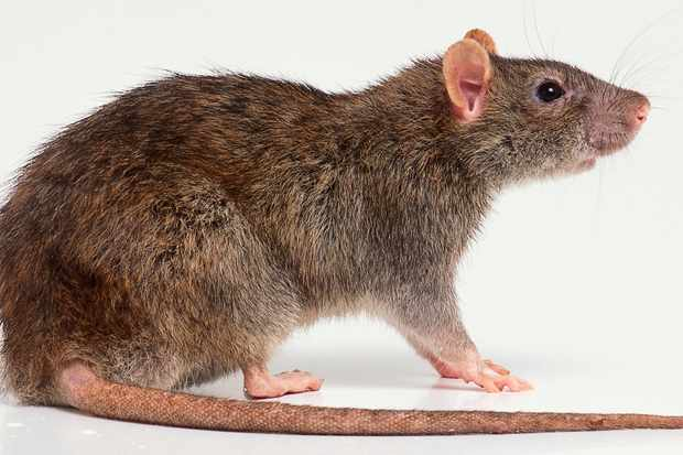 Side view of a Brown rat with typical long tail
