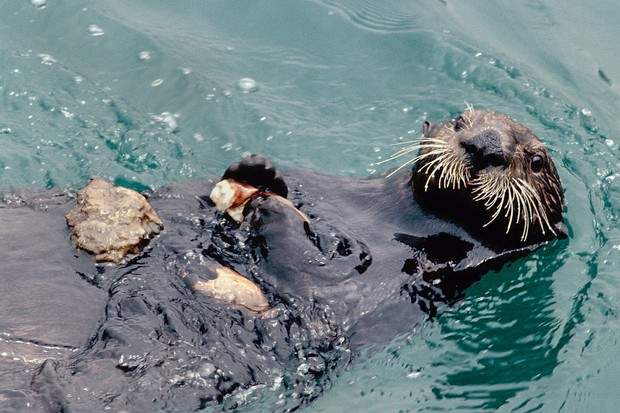 Sea otter eating a crab that it's cracked open on a stone