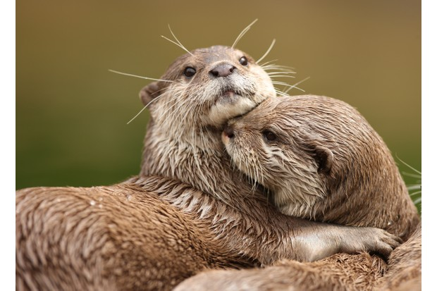 A pair of Oriental Short-Clawed Otters.