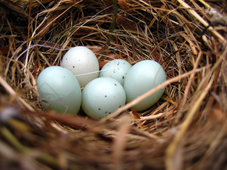 Dunnock bird nest with 5 eggs. © 49pauly/Getty