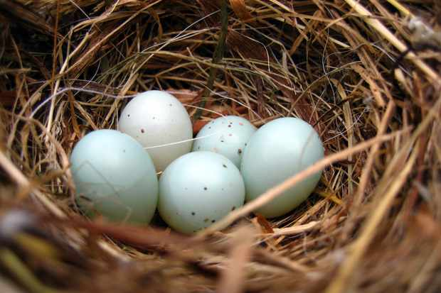 Dunnock bird nest with 5 eggs. © 49pauly/Getty