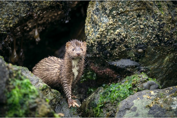 An American mink (Mustela vison) among boulders along the Pacific Coast on a rainy day.