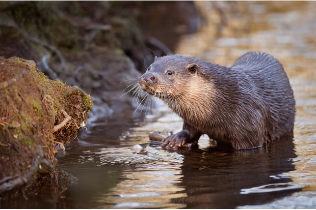 Eurasian otter (Lutra lutra) climbing out of the river