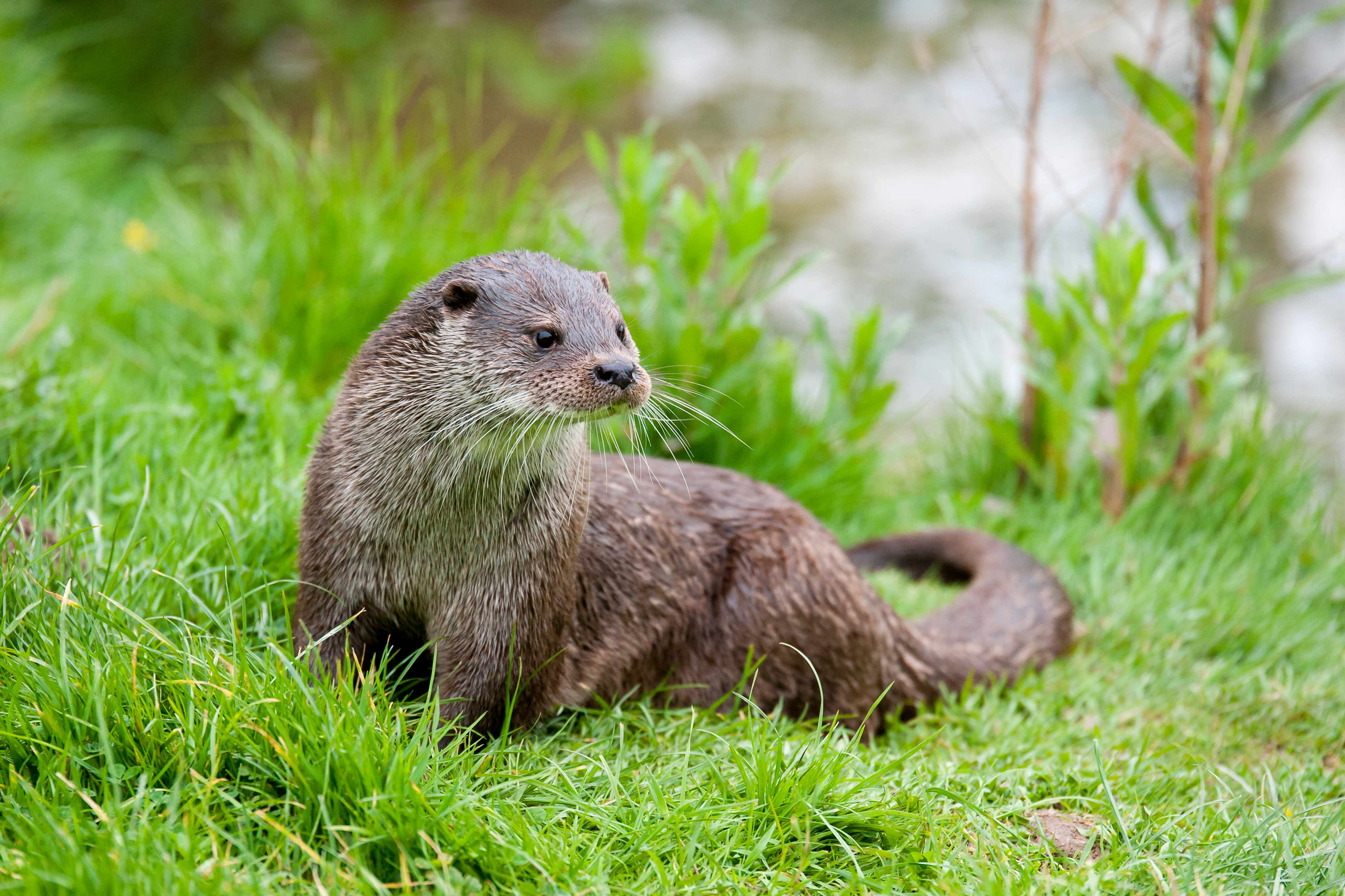 Eurasian otter. © Ed Evans/Getty