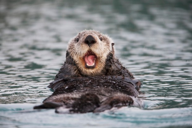 Close Up Of A Sea Otter Swimming On Back In Prince William Sound, Alaska, Southcentral, Winter