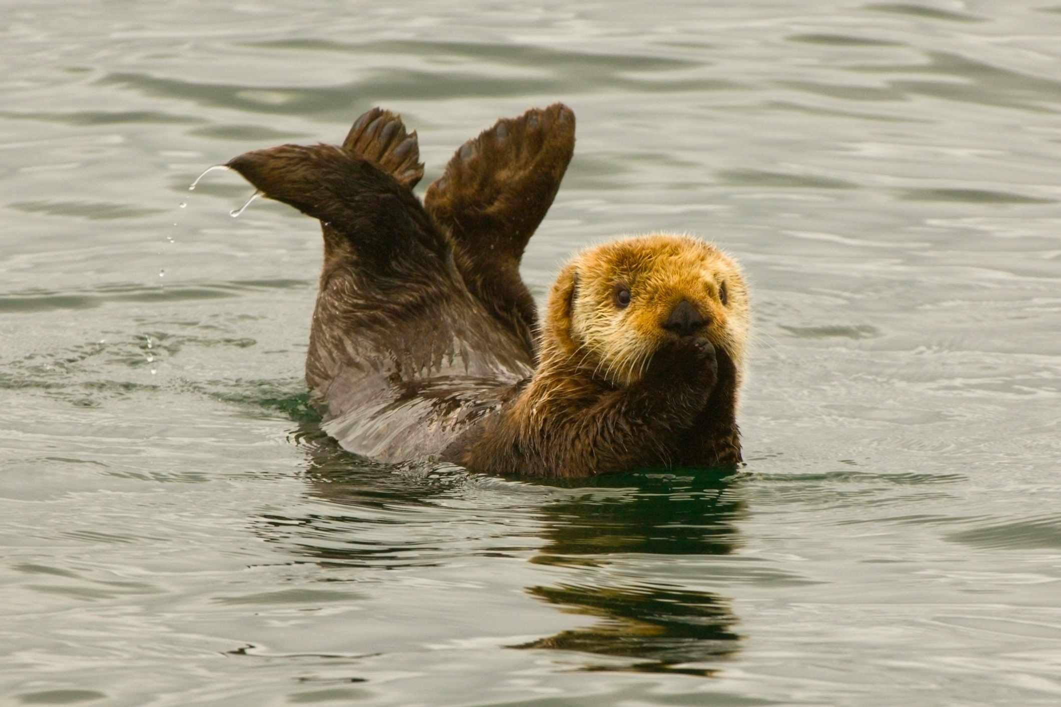 Cute sea otter in Alaska. © Blaine Harrington III/Getty