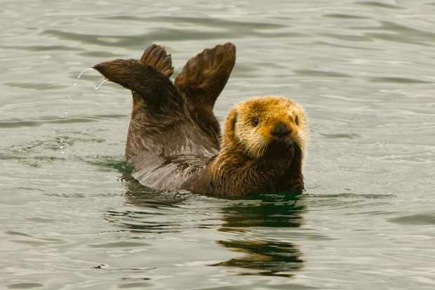 Cute sea otter in Alaska. © Blaine Harrington III/Getty