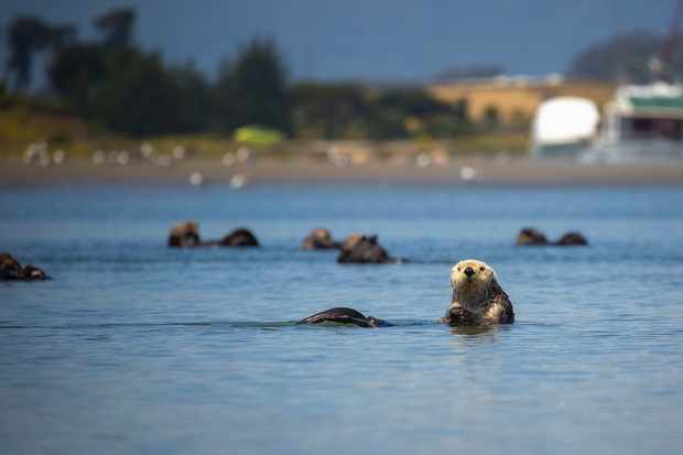 Southern sea otters float together as a raft in the waters of Moss Landing, California.
