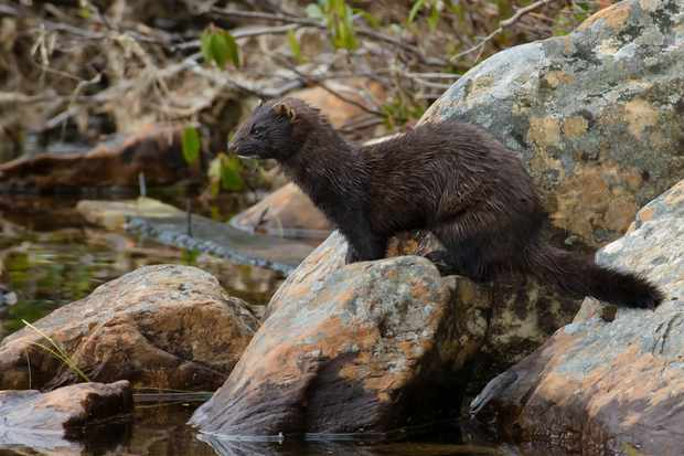American mink © Paul Reeves / Getty