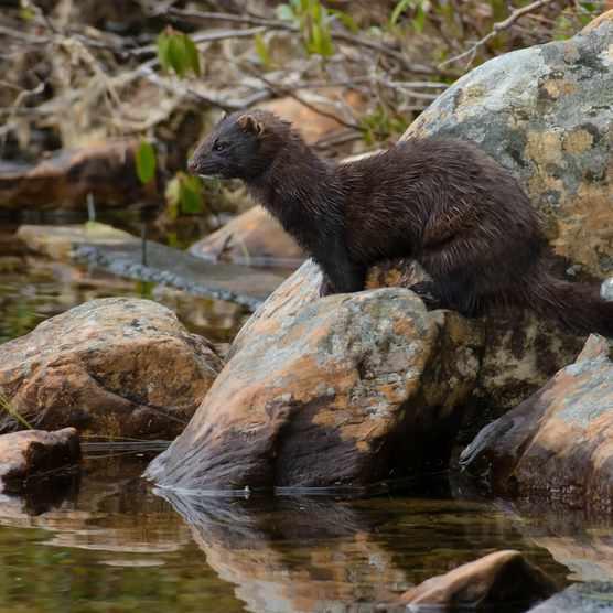 American mink. © Paul Reeves/Getty