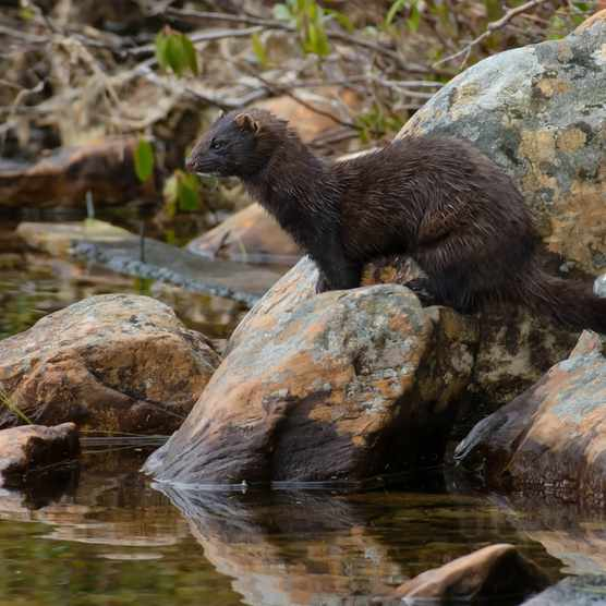 American mink. © Paul Reeves/Getty