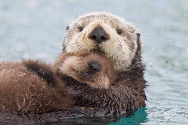 Female sea otter holding her newborn pup out of the water. © Milo Burcham/Design Pics/Getty