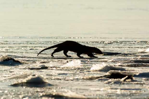 Eurasian otter (Lutra lutra) running across frozen sea ice on Loch Dunvegan, Scotland
