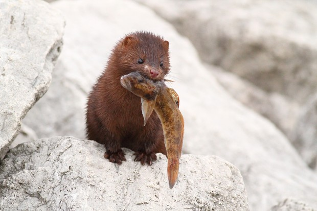 Mink with a fish its just caught