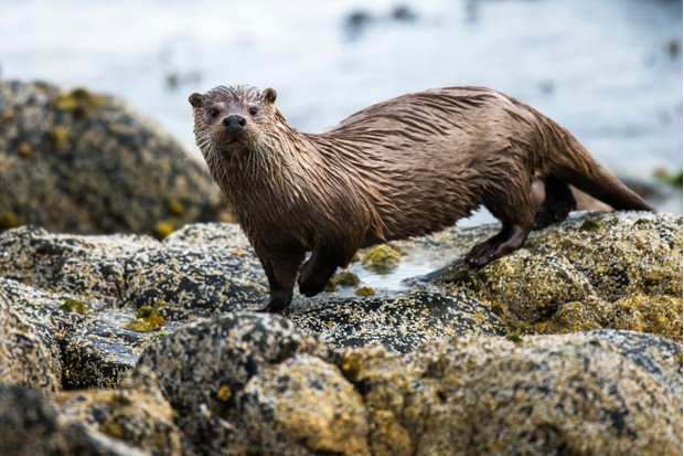 European otter (Lutra lutra) on the coast in the Shetland Islands