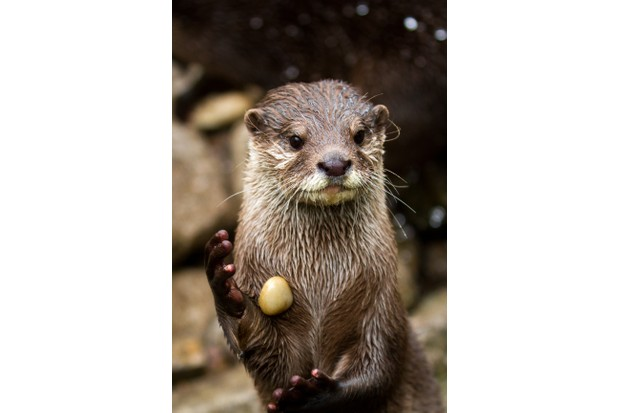 A small-clawed otter juggling a stone