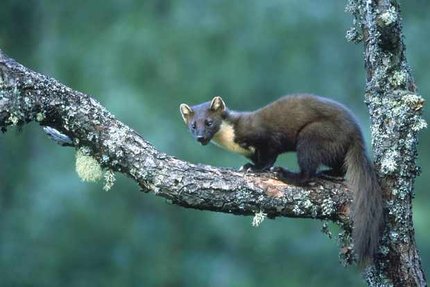 Young pine marten (Martes martes) on a woodland branch