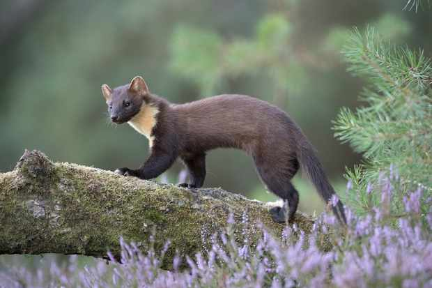 Pine marten walking along a log with lavender all around.