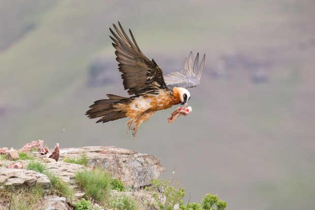 Adult lammergeier taking off with a chunk of bone and meat