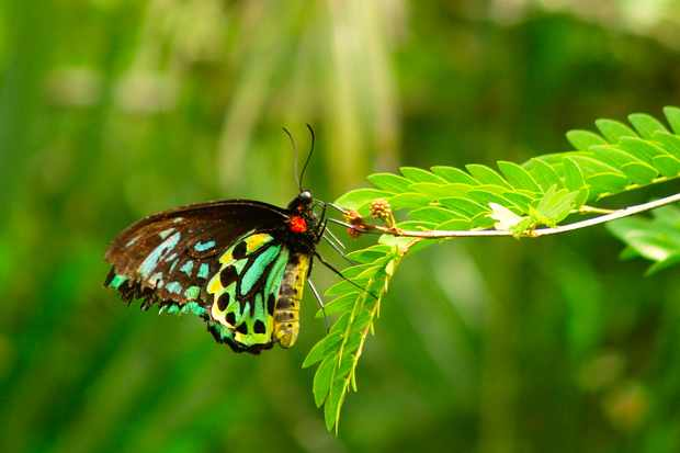 The Queen Alexandra's birdwing butterfly is listed as Endangered on the IUCN Red List. © WTolenaars/Getty