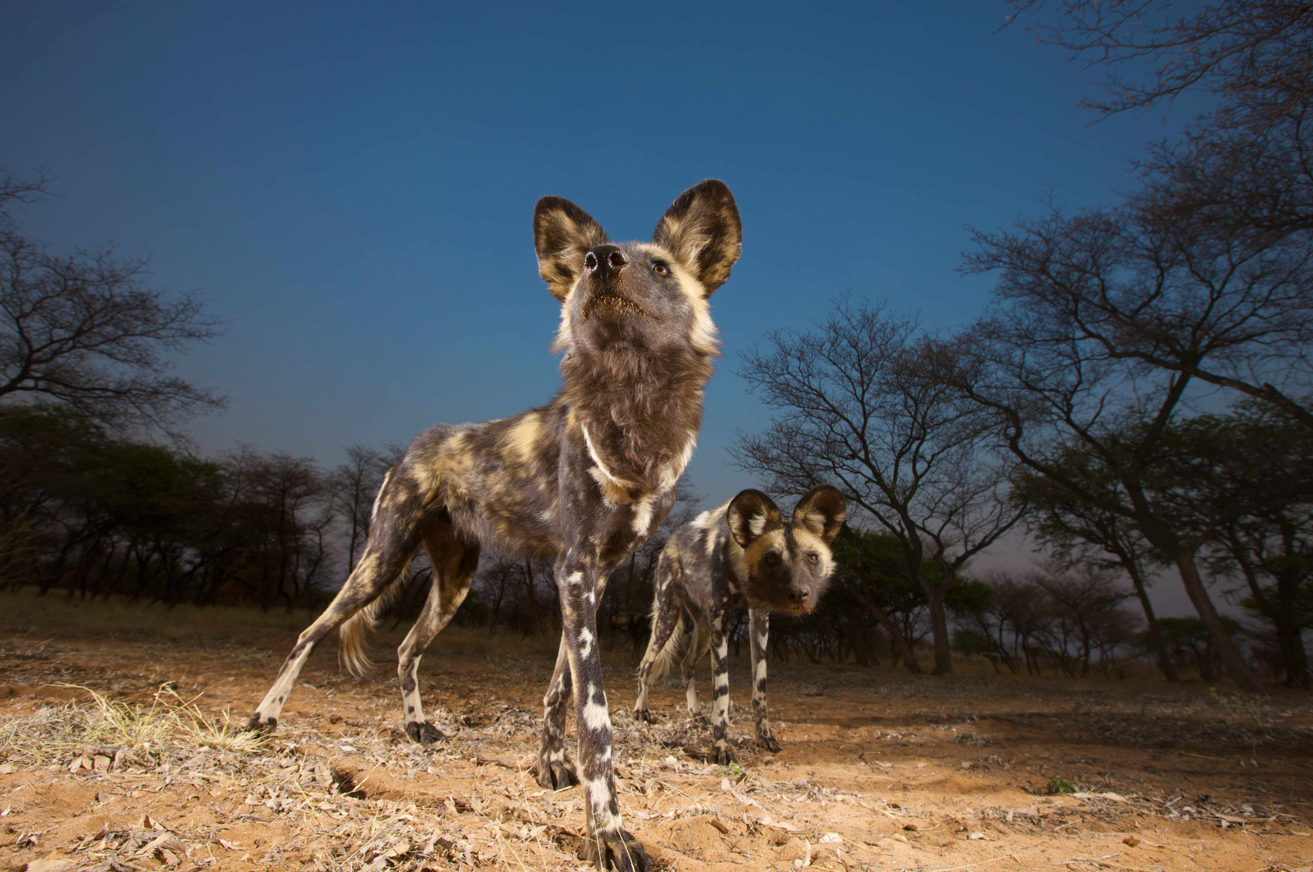 The African wild dog is listed as Endangered on the IUCN Red List. © Gallo Images/Heinrich van den Berg/Getty