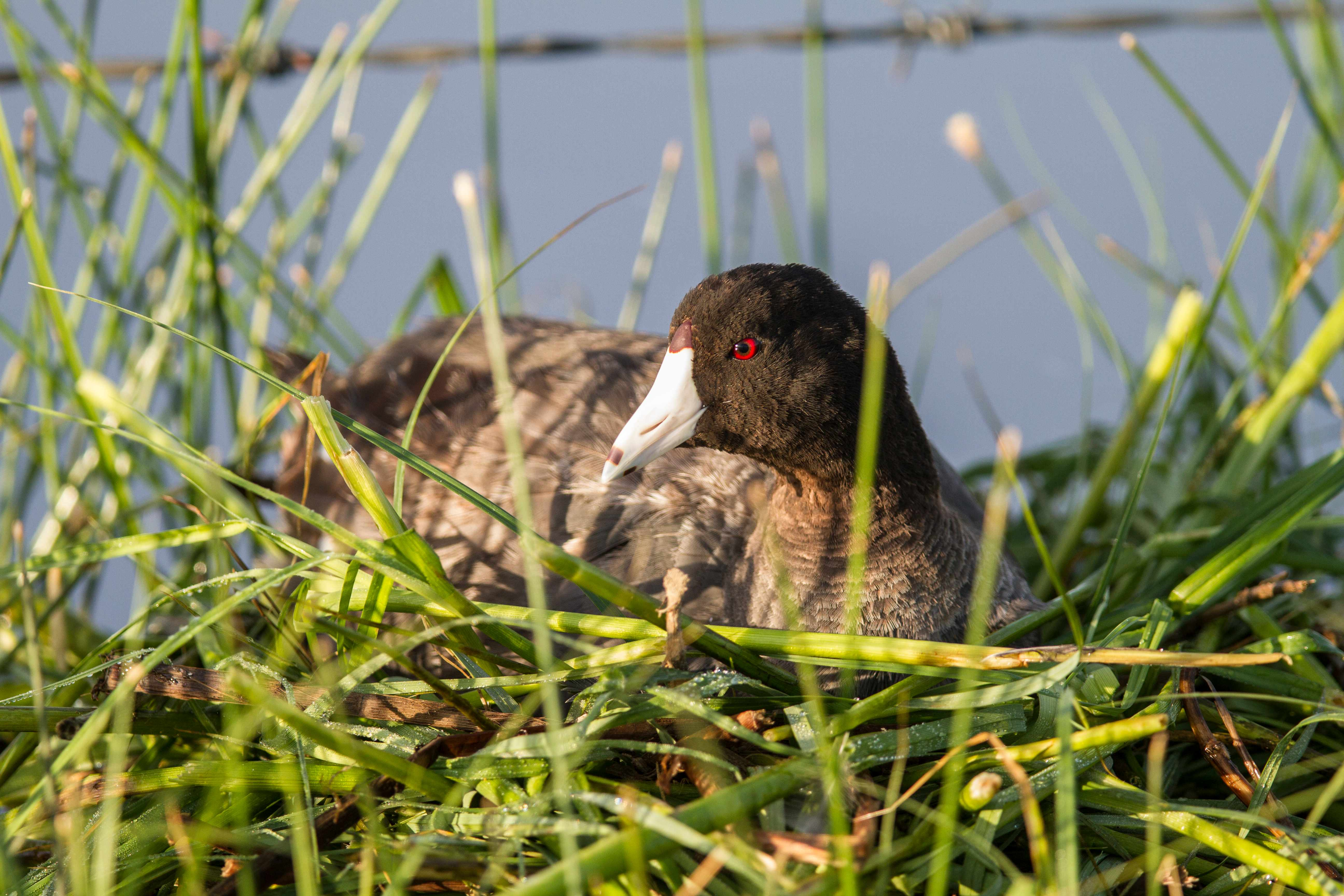 American coot sitting on its nest in Canada. © Murray Hayward/Getty