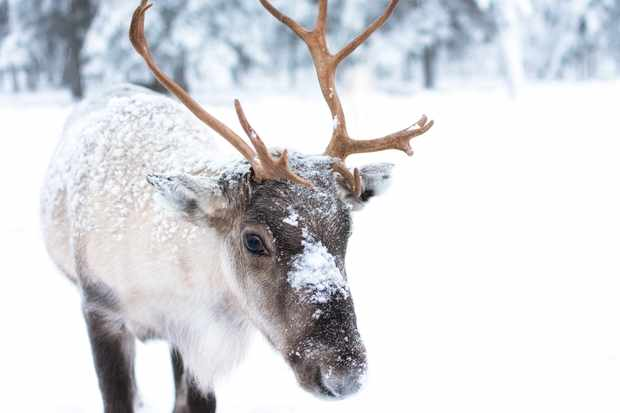 Reindeer © Jellis V / Getty