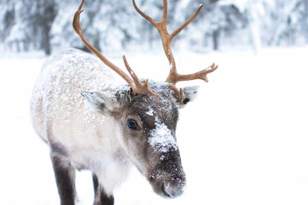 Reindeer © Jellis V / Getty