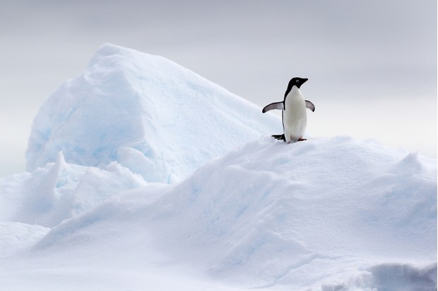 Adelie penguin (Pygoscelis adeliae) on ice floe in the southern ocean