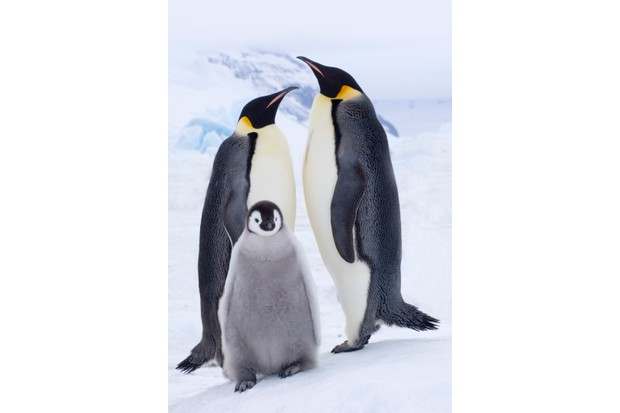 Emperor Penguins (Aptenodytes forsteri) with chick on ice on Snow Hill Island, Antarctica