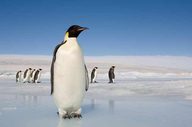 Emperor penguins on ice on Snow Hill Island, Antarctica. © Paul Souders/Getty