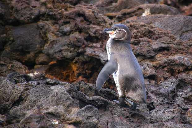 The Galápagos penguin is the only penguin that lives north of the equator in the wild. © Donyanedomam/Getty