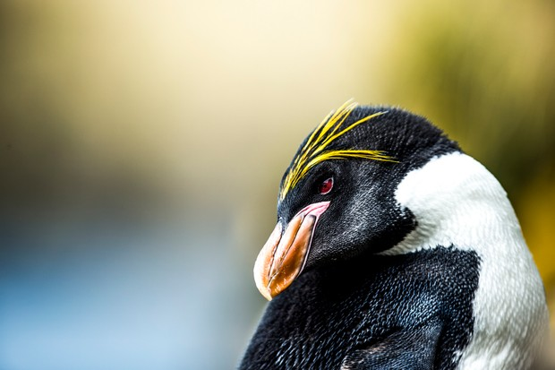 Macaroni penguin (Eudyptes chrysolophus) on South Georgia Island