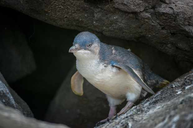 The blue penguin is the smallest extant penguin species. © Boy Anupong/Getty