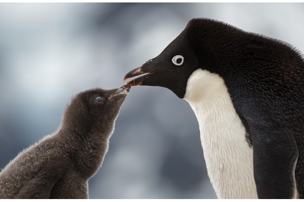 An adelie penguin going beak to beak with its young chick in Antarctica