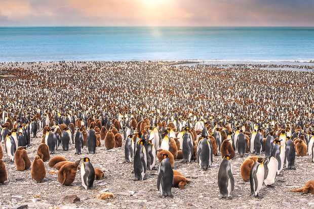 Thousands of adult and juvenile king penguins standing together on beach of St. Andrew's Bay, South Georgia Island, with the sun setting over the sea behind