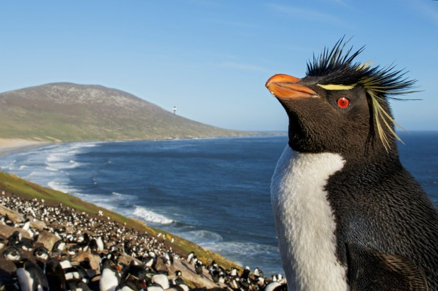 Southern rockhopper penguin (Eudyptes chrysocome) at a nesting colony in the Falkland Islands.