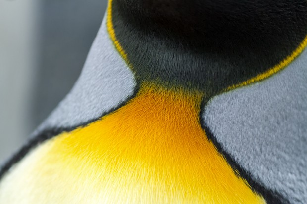 A close-up image of the colorful orange and yellow neck feathers of a king penguin