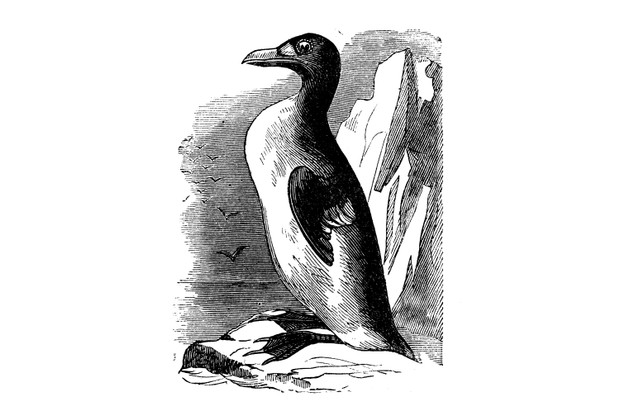 An engraving of a great auk. © Getty