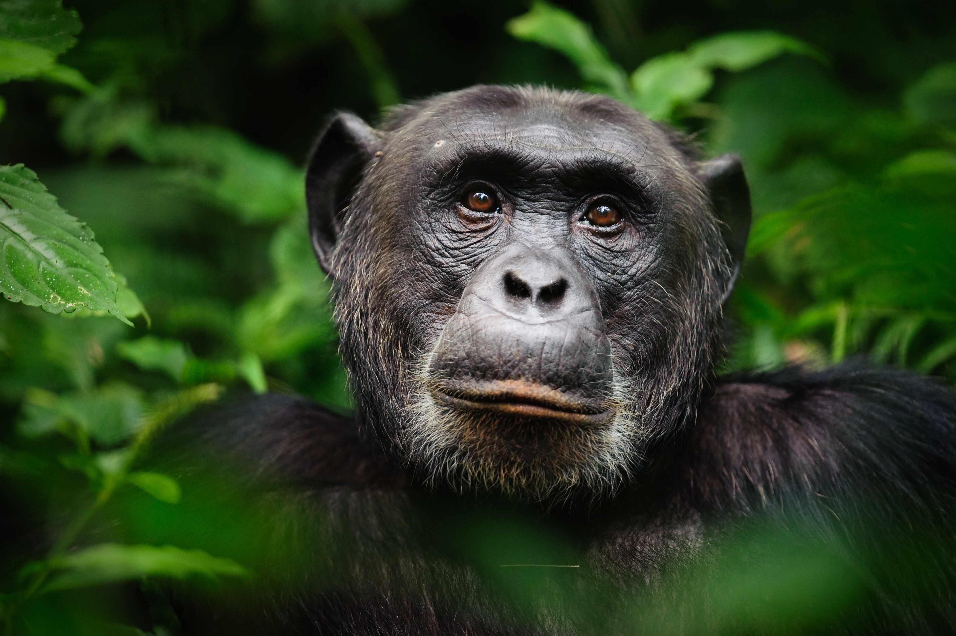 An extreme closeup portrait of the alpha male chimpanzee (Pan troglodytes), Kibale Forest National Park, Uganda. © Marc Guitard/Getty