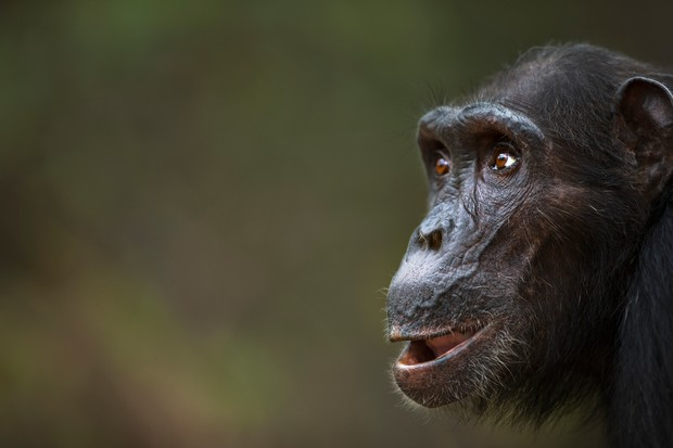 Portrait of a 40-year-old female chimpanzee female in Gombe National Park, Tanzania