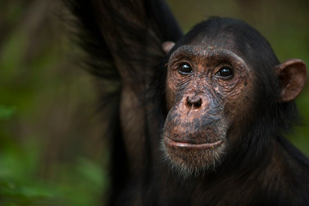 Adolescent male chimpanzee named 'Fundi' aged 13 in Gombe National Park
