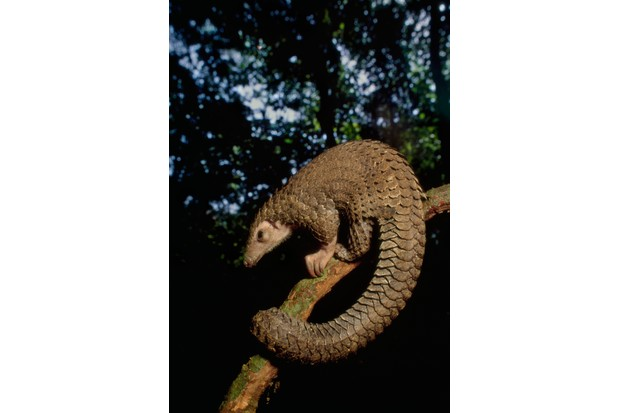 Long-tailed pangolin aka black-bellied pangolin (Manis tetradactyla) in a tree