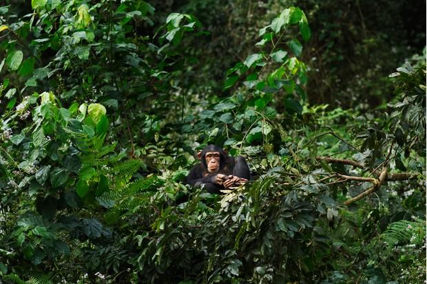 Juvenile western chimpanzee juvenile female resting in nest in the rainforest