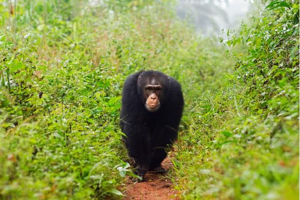 Western chimpanzee young male 'Jeje' aged 13 years walking along a track (Pan troglodytes verus). Bossou Forest, Mont Nimba, Guinea
