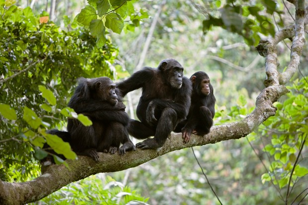 A chimpanzee family sitting in a tree in the rainforest