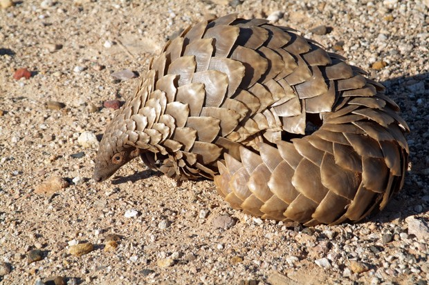 An African pangolin species photographed in South Africa