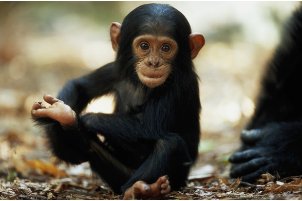 Baby chimpanzee on the forest floor in Mahale Mountains National Park, Tanzania