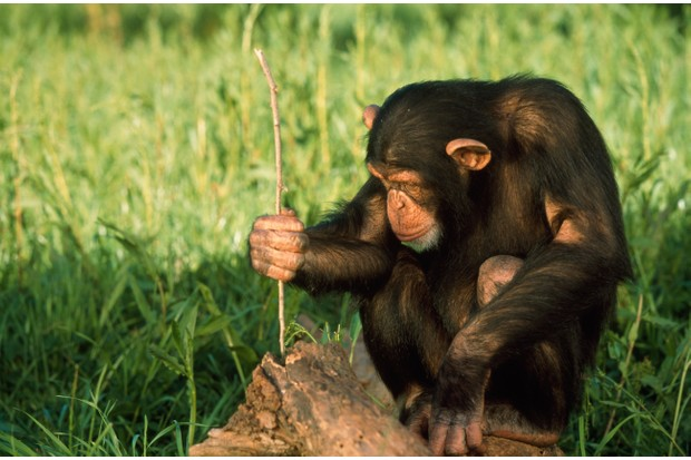 A chimpanzee using a twig to reach termites