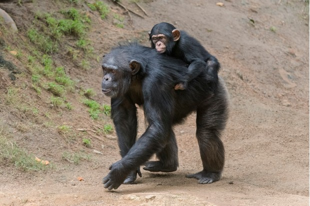 Baby chimpanzee riding on its mother's back.